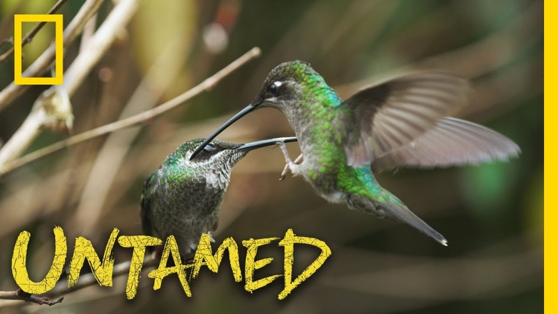 Hummingbird Battleground | Untamed