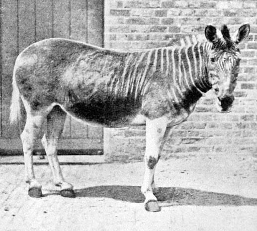 Фото вымершего подвида зебры Квагга. Последний живой представитель таких зебр был сфотографирован в Зоопарке Лондона в 1870
