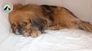 Породистые тоже плачут Не повезло с хозяйкой Самовыгул Пекинеса переехала машина save dog