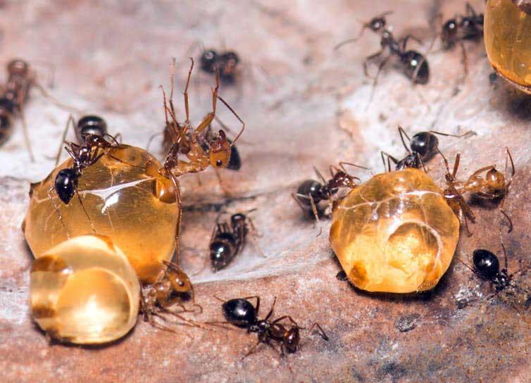 Как тля делает мед