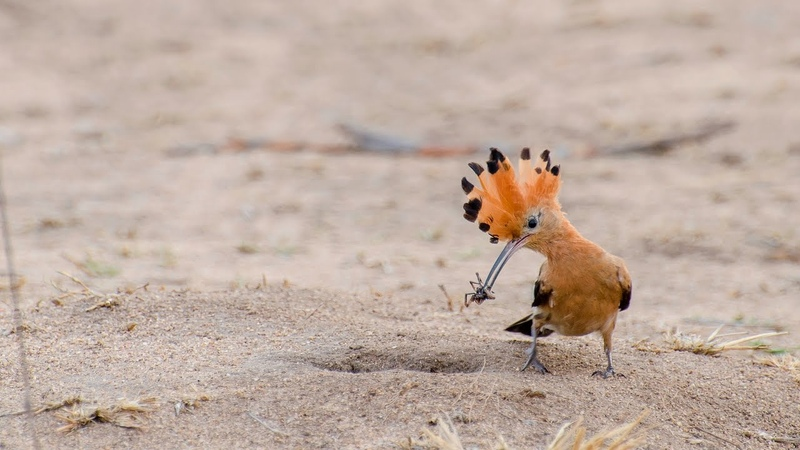 African Hoopoe pair feeding it's baby in a hole in the ground - Transport Dam, Kruger national park