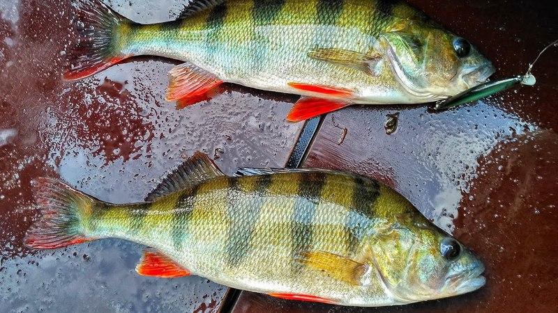 ВОТ ЭТО ОКУНЯ КЛЮЮТ!! Наконец-то, НАЧАЛОСЬ!! Crazy Fish Nano Minnow косит окуня