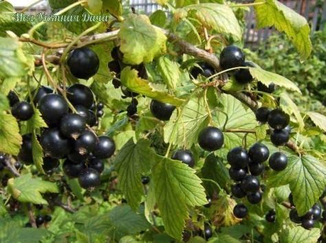 что делать чтоб смородина была крупной хороша смородина в саду! что черная, что красная, что белая, что золотистая... у каждой свои витамины, свой вкус.садоводы уже вывели такие сорта, которые
