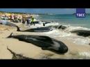 Дельфины выбросились на берег в Австралии