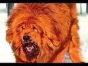 Самая дорогая собака в мире 1500000 долларов