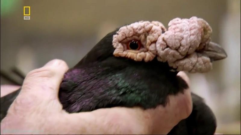 2. Умные голуби.Талантливые животные National Geographic.