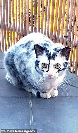 Когда витилиго  красиво: черно-белая кошка преобразилась до неузнаваемости, когда ей исполнился год