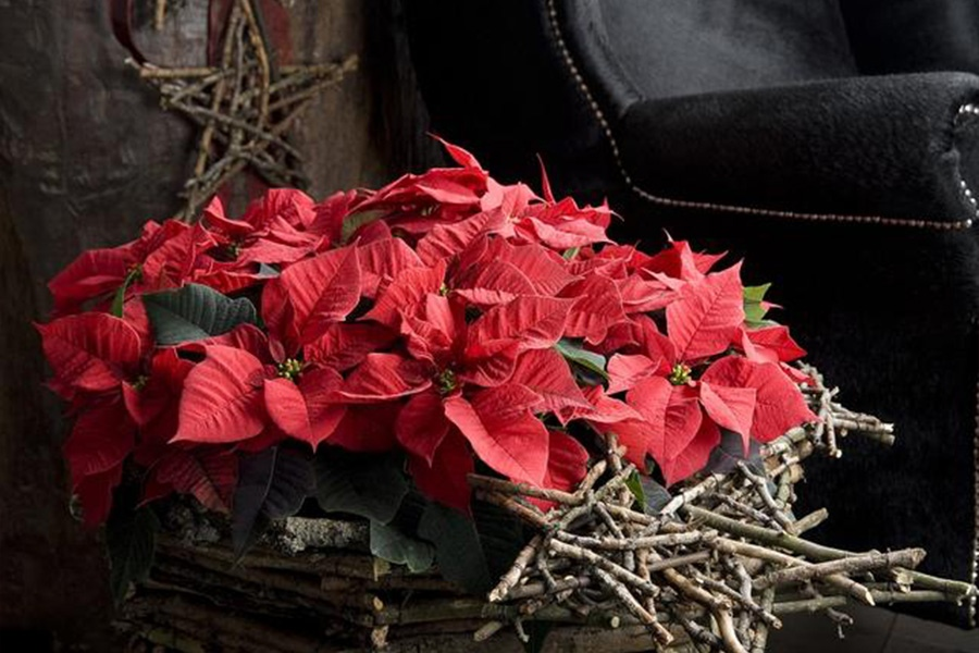 Пуансеттия — рождественская звезда, как ухаживать в домашних условиях и заставить зацвести снова