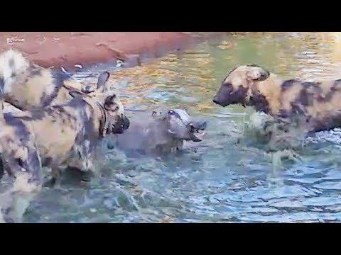 Wild Dogs Disturb a Warthog's Bath