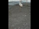 Лебедь Сахалин