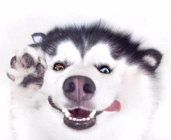 Это Мару — самый счастливый в мире хаски, который на самом деле чувствует себя пандой.