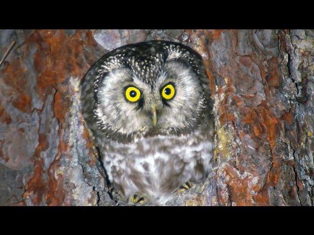Boreal Owl. Female. Сыч мохноногий. Aegolius funereus