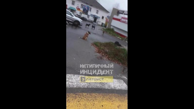 Свора бездомных собак. Златоуст, ул 40 лет Победы, 17