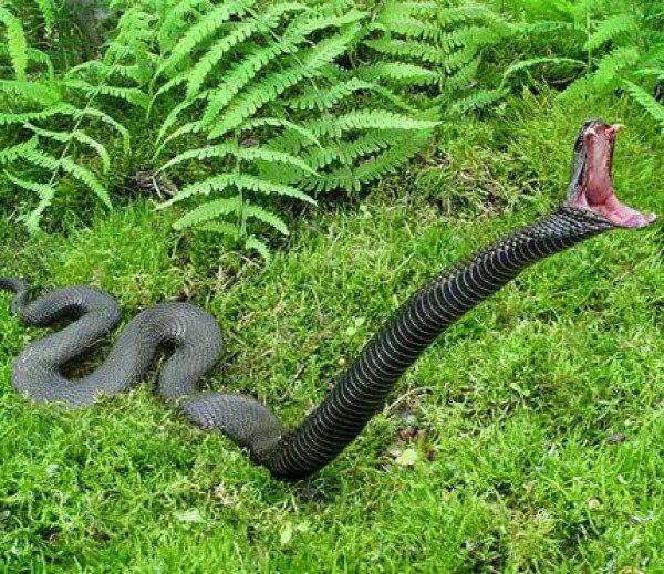 Африканская змея черная мамба - самая быстрая в мире.