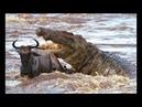 Дикие животные. Мир Африки. Львы. Документальный фильм National Geographic.