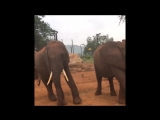 gentle giants elephants