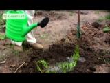 Как размножать и выращивать туи