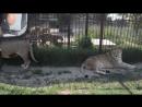 Жесть , львица Клепа -хозяйка Саванны !