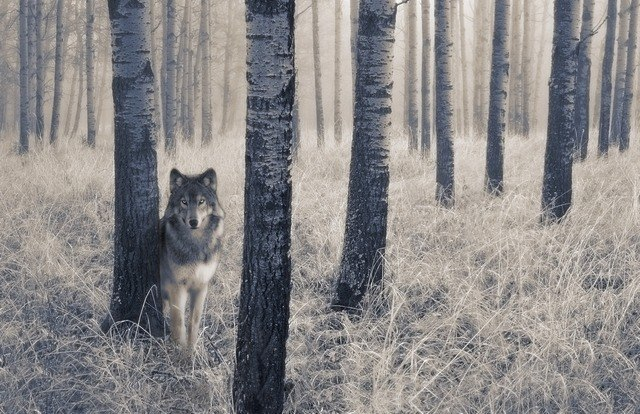 west sounds lone wolf
