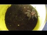 Brachypelma Albopilosa L6 vs Туркменський таракан