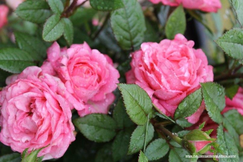 Посадка черенков роз, смородины в картошку