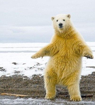 Полярный медведь танцует макарену.