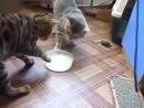 Коты не могут поделить миску с молоком
