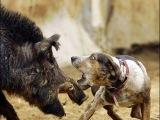 Охота на кабана (три собаки против одного кабана)
