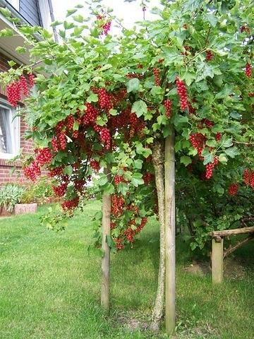 Штамбовая смородина В Европе, а в последние годы и в России, все чаще выращивают смородину и крыжовник не кустиками, а в штамбовой форме. А это, судя по откликам и некоторому личному опыту, дает весомые преимущества перед традиционным выращиванием. Они заключаются в облегчении ухода за растениями и сбора урожая с них, в укрупнении и улучшении качества ягод за счет лучшей освещенности; к тому же ягодники приобретают своеобразную декоративность. Добиться такой реконструкции ягодного сада…