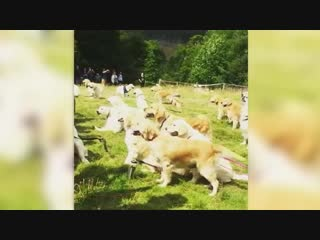 Hundreds of golden retrievers fill a Scottish field in mass gathering of the pups