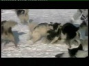 Wolves Attack Humans and Sled-dogs (test , intimidation & évaluation )