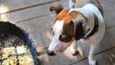Джек Рассел терьер САМОЕ ПЕРВОЕ с чего надо начинать заниматься с собакой
