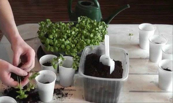 Тонкости садоводства  что такое пикировка базилика и как ее осуществлять