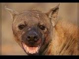 реальная Африка. ЖЕСТЬ дикие собаки укусили гиену за нос
