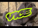 Неаполитанские мастифчики - VICE