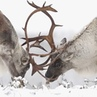 """@live_love_wildlife on Instagram: """". Today's Theme: VIDEO ✧ Wildlife: Caribou ✧ Featured Videographer: @jsb_wildlife_photography. Follow his IG fee..."""