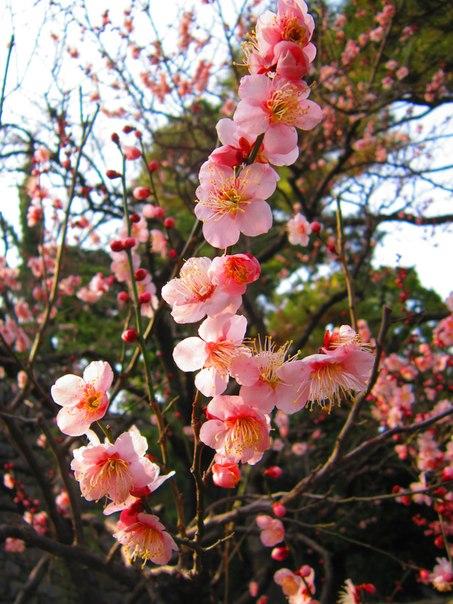 Цветущая слива в Японии