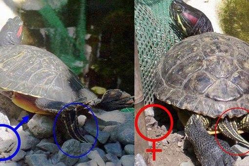 Красноухая черепаха пускает
