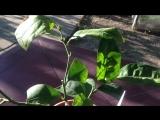 Дерево-сад(лимон Новозеландский+ Клементино+ лимон Амольфитано)