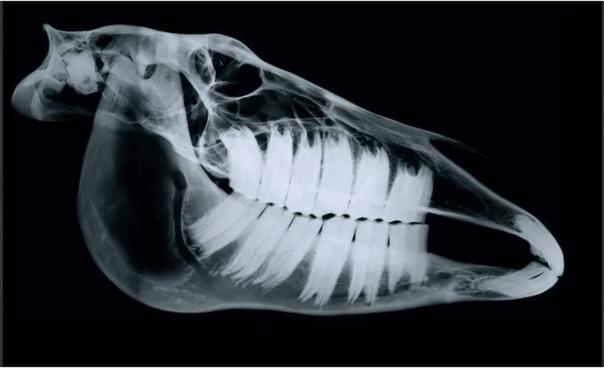 Рентген головы лошади