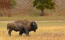 Внешне бизон может напоминать неуклюжий гигантский комок шерсти…