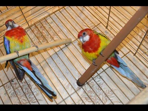 Розеллы купаются | Попугаи | Rosella parrot