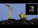 Выращивание новых зубов