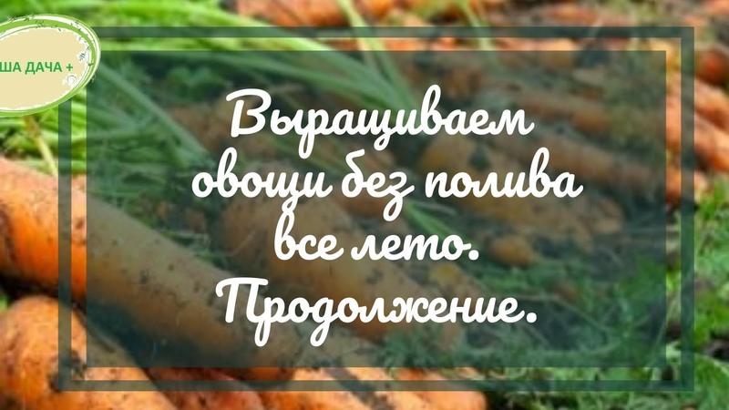 Выращиваем овощи без полива все лето. Часть 2. Кольцова Ирина