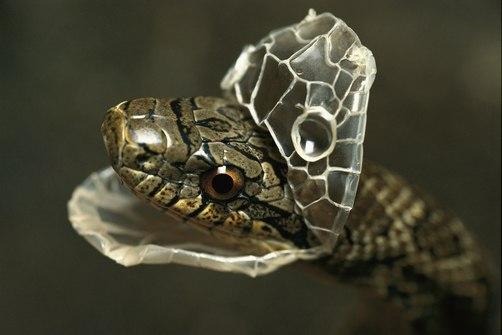 Линька змеи