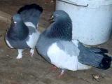 голуби статные -1