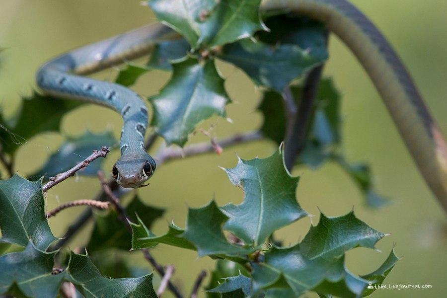 птицы Турции, оливковый полоз, Platyceps najadum