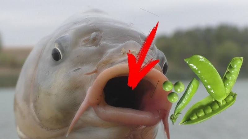 Рыбалка Карпы клюют на зеленый горошек Часть 1