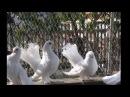 Породы голубей Луганский статный космоногий
