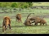 Схватка молодых львов с главой прайда!